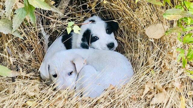 gestolen puppy's gevonden