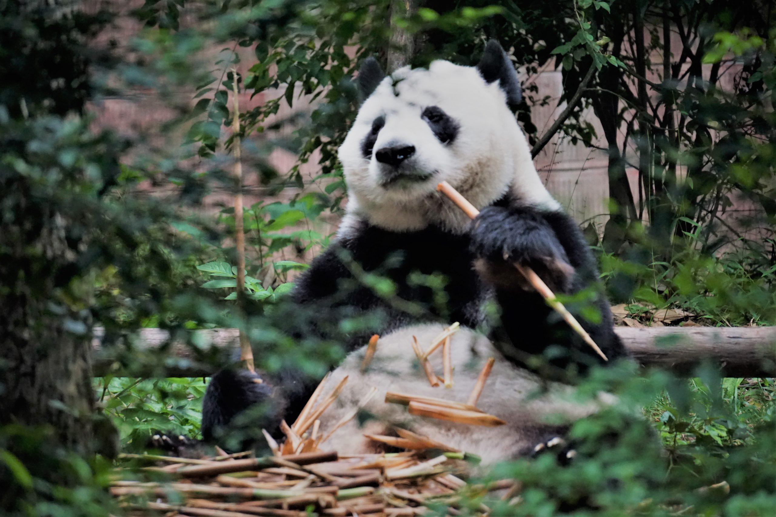 reuzenpanda geboren
