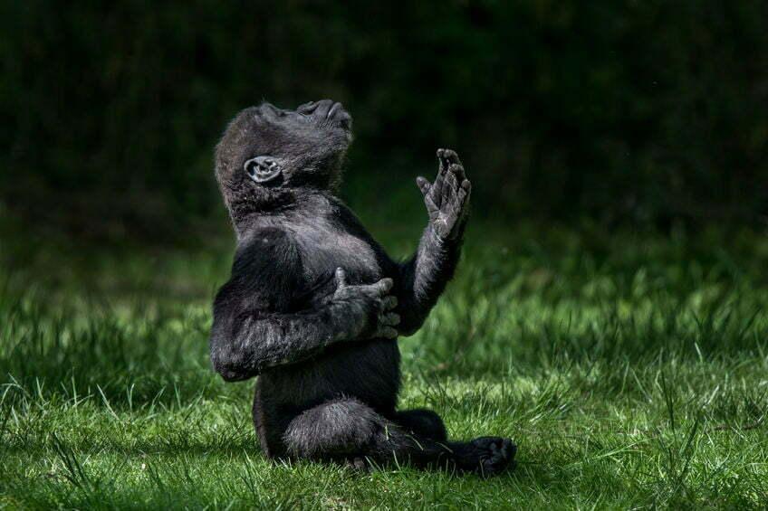 beekse bergen gorilla geboren
