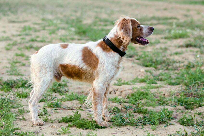 hond loopt 600km naar nederland
