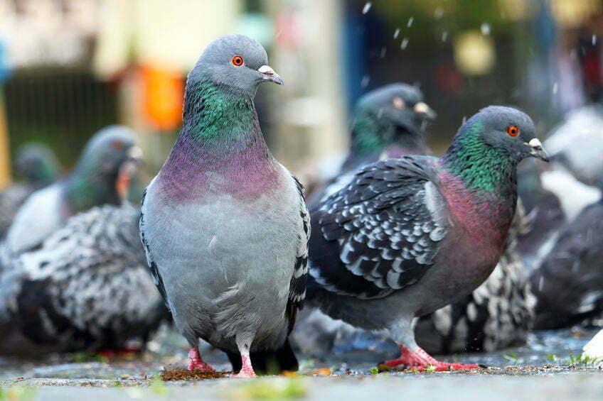 dode duiven lelystad